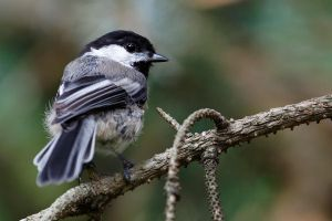 Black-capped Chickadee by Jay-Co