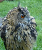 eagle owl head by Nexu4