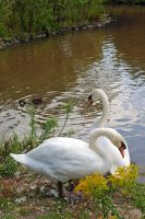 Swans 2 by LucieG-Stock