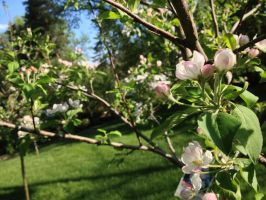 Apple Blossoms by naturentranced