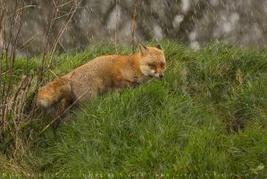 Vulpes vulpes by linneaphoto