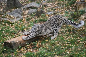 Snow leopard by busangane