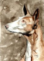 Ibizan Hound by RamonaQ