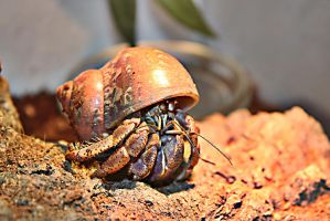 hermit crab by JackTheLateRiser