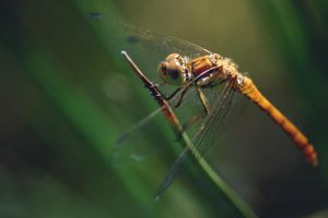 Young Dragonfly by 1Mathew7