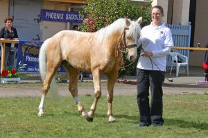 Palomino Welsh Stallion by Sooty-Bunnie