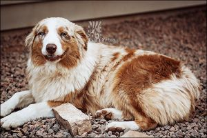 Smiling Aussie by XetsaPhoto