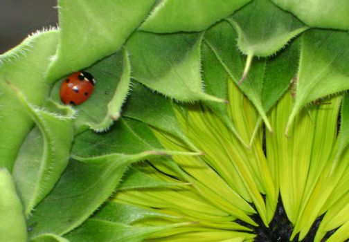 Sunflower and Ladybug by snoogaloo