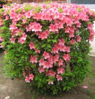 pale pink azaleas 01 by CotyStock