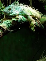 The Lizard in a moment of repose... by Crigger