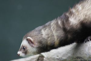 Polecat by rogerdurling