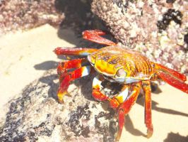 Sally Lightfoot Crab by PartyhatPikachu