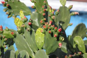 00124 - Cactus with Budding Flowers by emstock