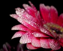 Pink droplets_3 by Mixdown13