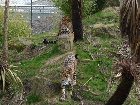 Beautiful Jaguar Pair by WolfyWitch