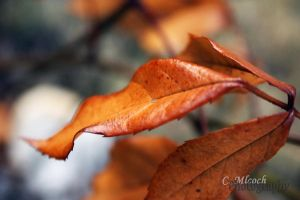 autumn leaves by CaryM