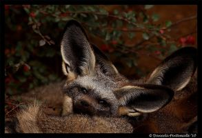 Sweet Bat Eared Fox by TVD-Photography