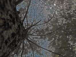 lookin up a pine tree by firegal01