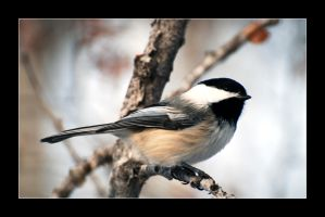 Black-Capped Chickadee 4 by Plutla