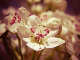 Vintage Bloom by barefootphotos