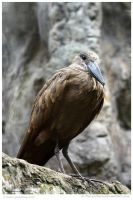Hammerkop Up High by In-the-picture