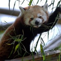 Red Panda Portrait by robbobert