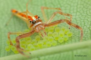 Wide Jaw Viciria guarding her eggs by melvynyeo