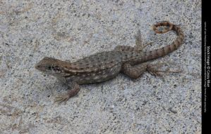 Curly Tail Lizard Stock 6 by Cassy-Blue