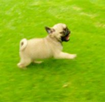 Pugs Are Cool *GIF* by WritingDirectioner