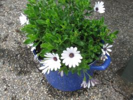 Nancey's African Daisies 2 by crazygardener