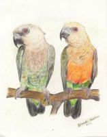 Red Bellied Parrots by Kreny