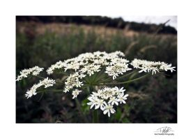 White flowers macro - with border and sig by Paul-Madden