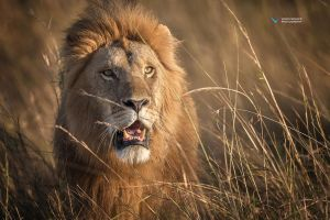Lion King by vinayan