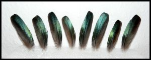 Glossy Starling Feathers by CabinetCuriosities