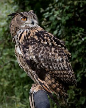 Eurasian Eagle Owl, perched by FurLined