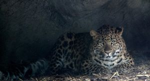 North Chinese Leopard by titta20