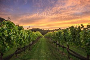 Coromandel Vineyard by chrisgin