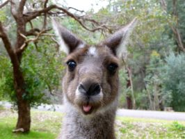 Silly Kangaroo by SilverSoul1496