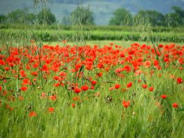 Poppies by srossetto