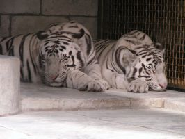 Sleeping white tigers by DeepInTheFire