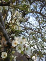 Pear Blossoms1 by lampshaded-stock
