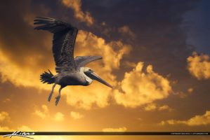 Pelican-Inflight-Golden-Color-Clouds-Florida by CaptainKimo