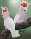 Leadbeater's cockatoos by MagicBirdie
