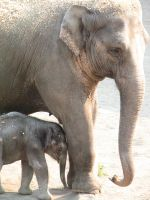 Baby elephant and mom stock 2 by thiselectricheart
