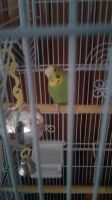 Ricky the Parakeet by MikeEddyAdmirer89