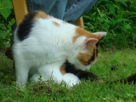 Calico Cat Stock 7389 by sUpErWoLf--StOcK