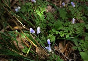 First spring forest flowers by gors