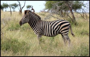 A Hungry Zebra by mikewilson83