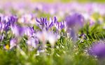 Crocuses in Spring by GazDabbs