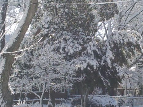 Frozen Magnolia by pictures-in-my-head